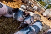 Schwein, Fleisch, Hohenlohe, BESH, Schwäbisch-hällisch, Schwäbisch Hall, Erzeugergemeinschaft, Bauer, bäuerlich