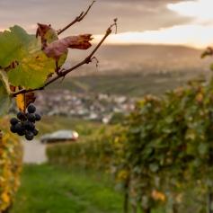 PlaceToBW, Winzer, Weinberg, Weinbau, Lehre, Ausbildung, Baden-Württemberg, Remstal. Großheppach, Ellwanger, Wein